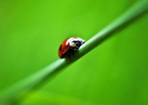 Coccinella Bipunctata contro gli afidi